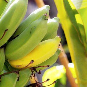 Baby-Bananen