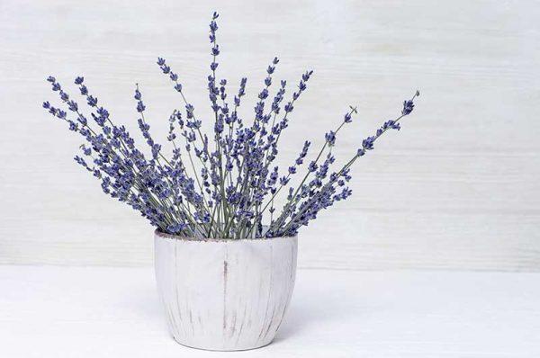 Topf-Lavendel